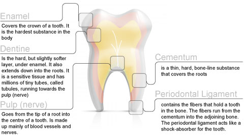 Tooth Development \u2013 South Beach Dental
