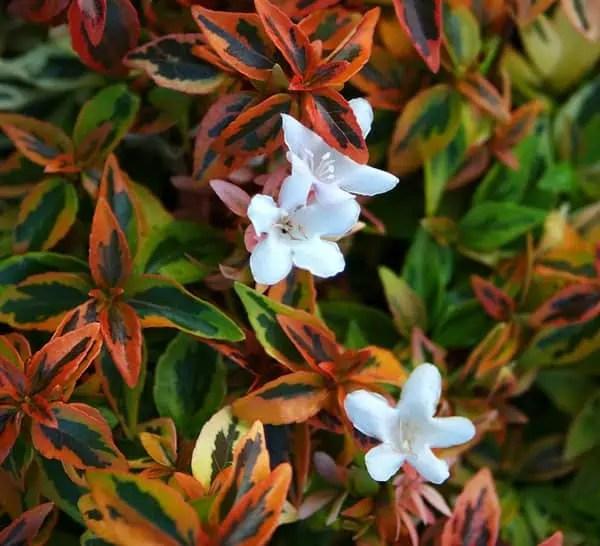 Orange Fall Peony Wallpaper Kaleidoscope Abelia Southern Living Plants