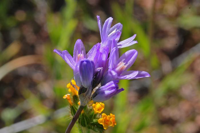 Pink, Purple, Lavender or Blue, Southwest Desert Flora