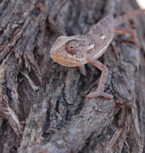 chameleon-444628_1280