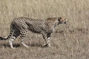 cheetah-171217_1280
