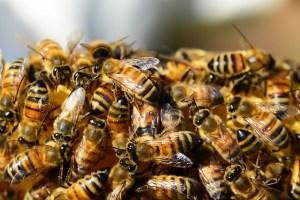 honey-bees-326334_640