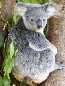 koala-bear-796021_640