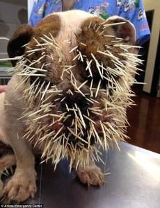 porcupine-victim