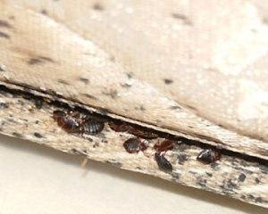 bedbug-2