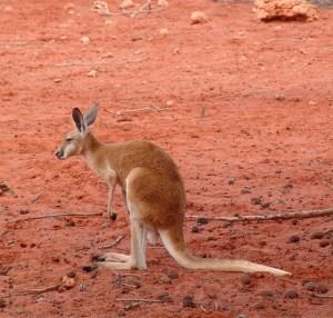 kangaroo-261740_640