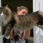 巨大ネコ、メインクーンがでかい!!大きさ、体重、寿命や性格は?