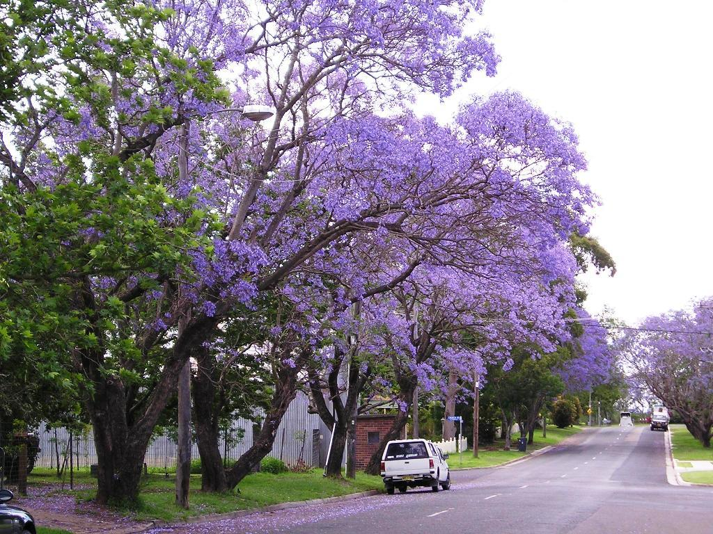 Fullsize Of Purple Flowering Tree