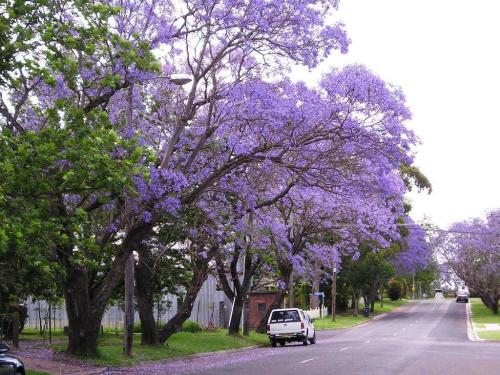 Medium Of Purple Flowering Tree