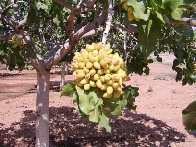 Pistachio Nuts Tree Flourishing In Hot Mediterranean