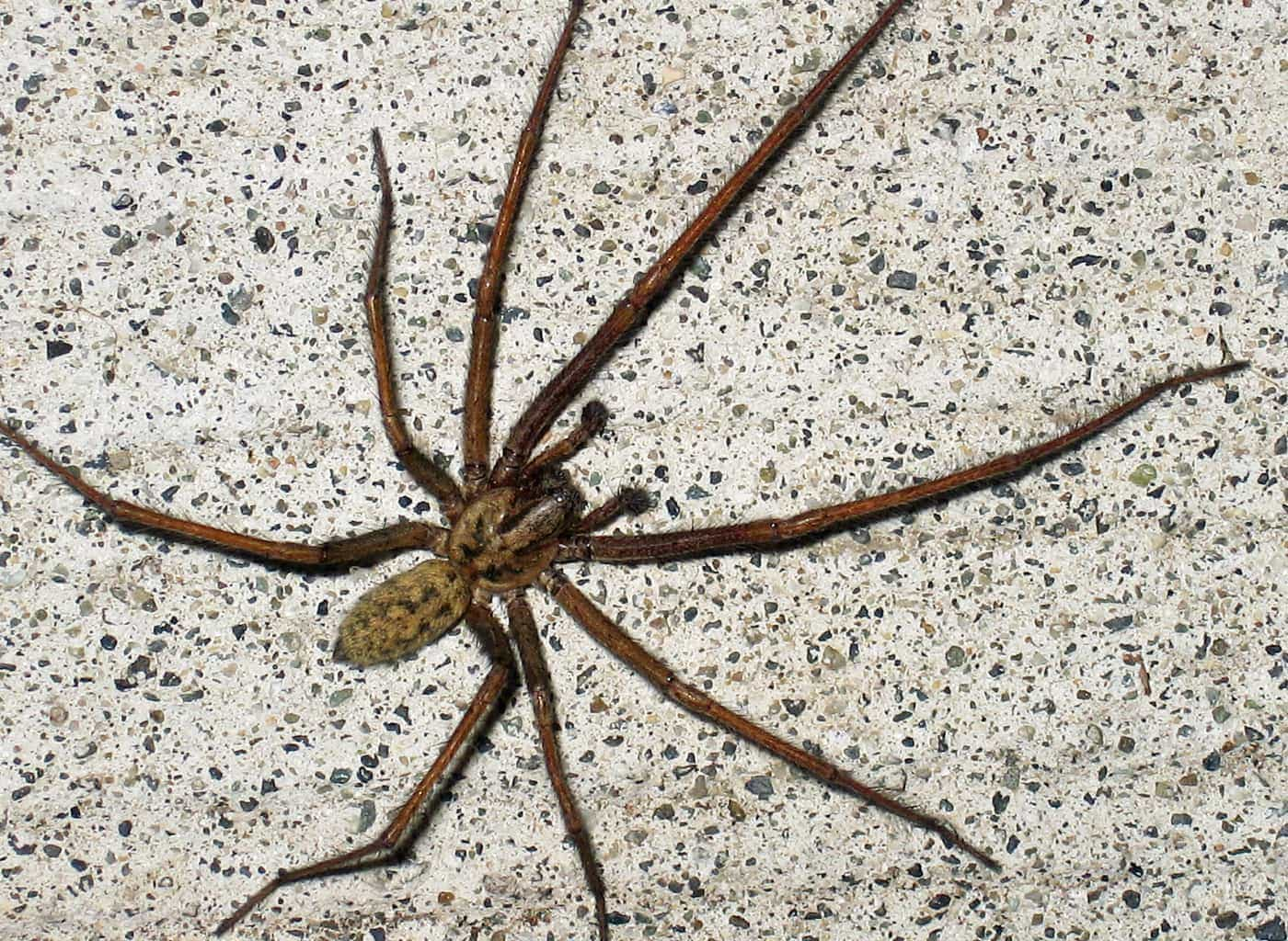 Great Eratigena Atrica House Male Dorsal Male Eratigena Atrica House Washington Giant House Spider Western Washington Giant House Spider Uk curbed Giant House Spider