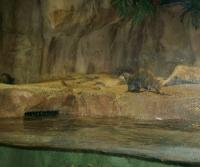 African River Otter