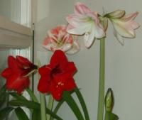 Red Lion amaryllis with cabin fever