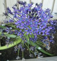 funky violet thing, an allium from outer space