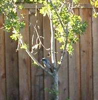 California bluejay