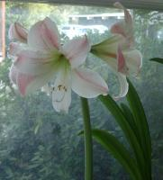 Rena\'s Appleblossom amaryllis