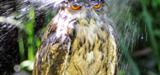 wet_owl