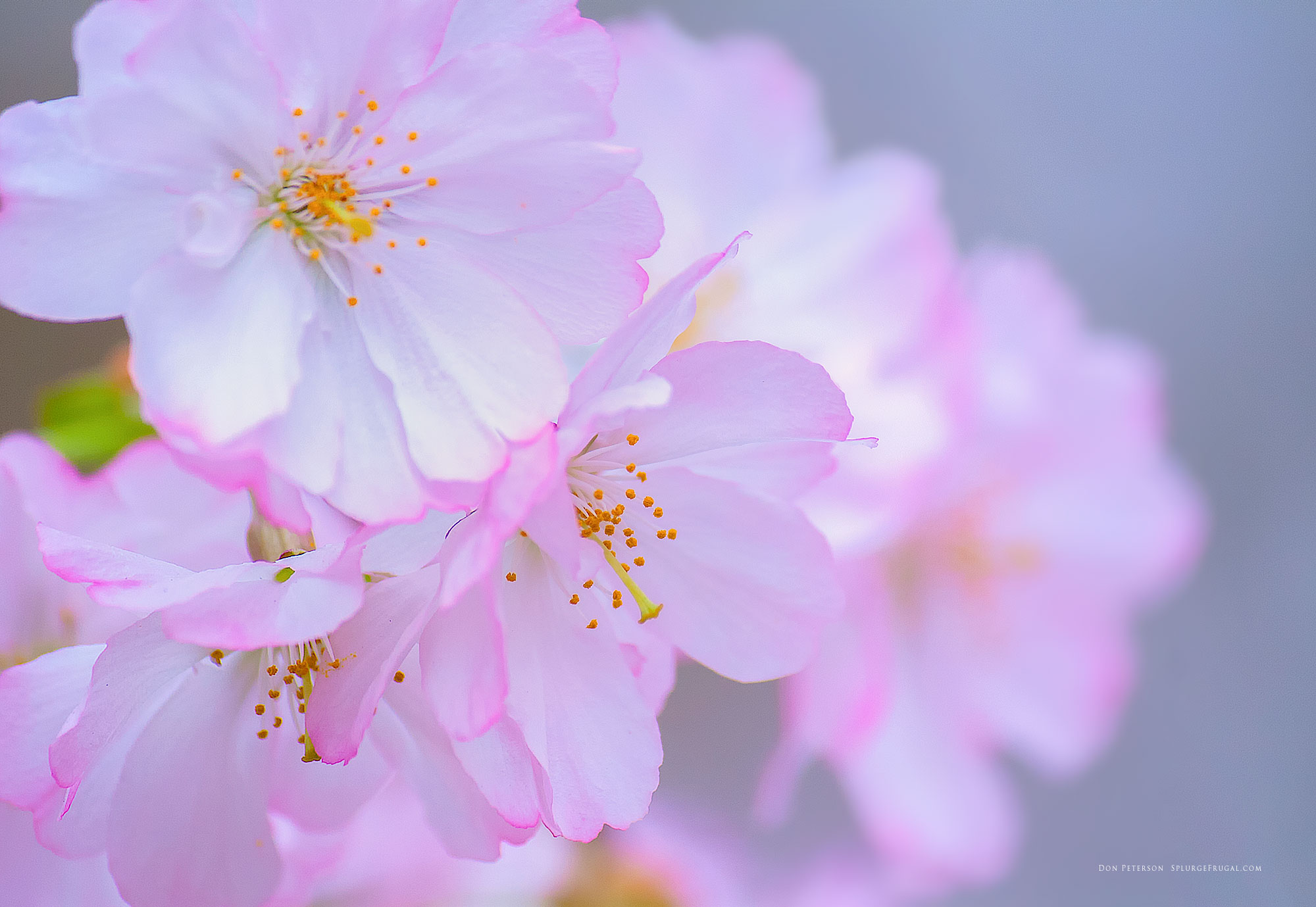 Wallpapers Cherry Blossom Free Cherry Blossom Wallpapers Branch Brook Park Splurgefrugal