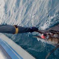 Eddie's first sailfish on fly [video]