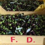 Just picked olives
