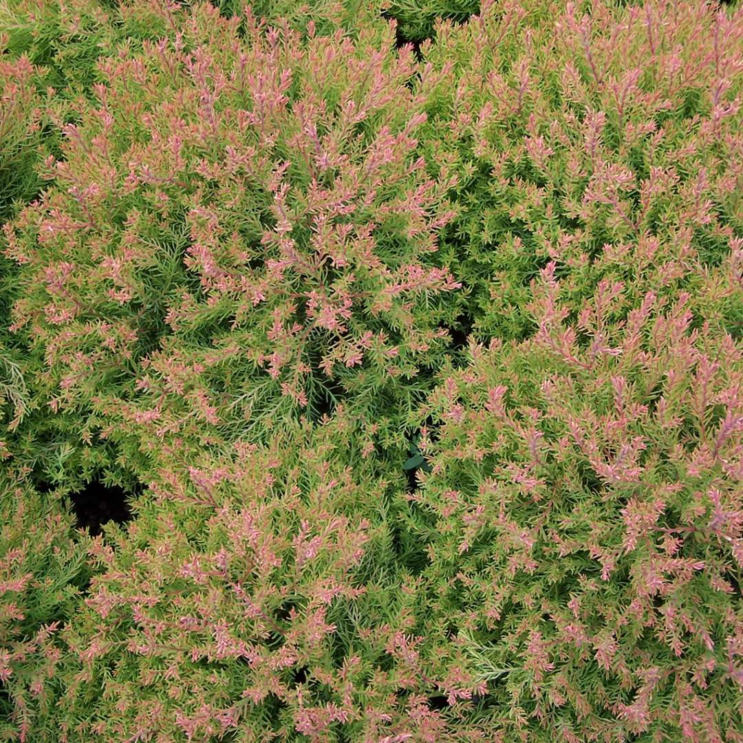 Thuja Rheingold Fire Chief Thuja Spring Meadow Wholesale Liners Spring Meadow