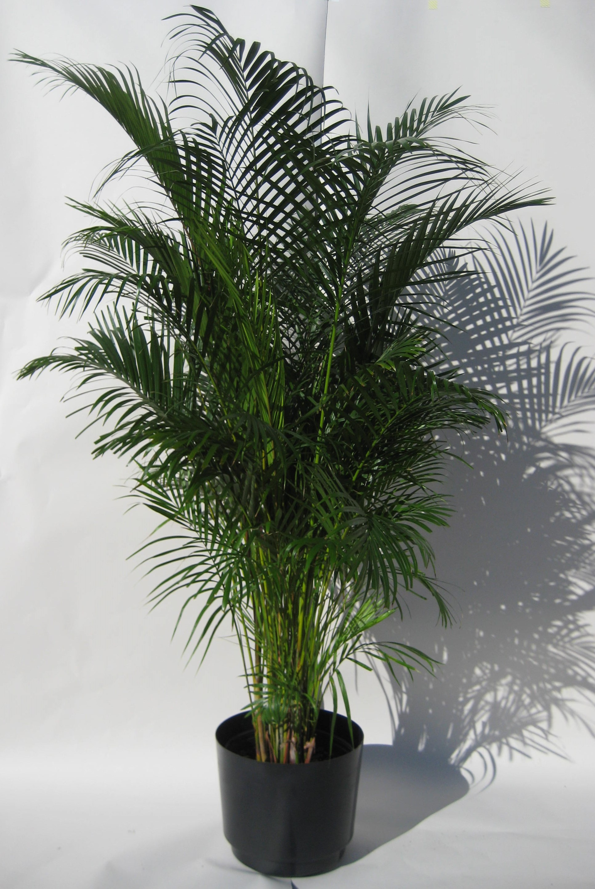 Palm Areca Areca Palm 6 Foot Spring Valley Floral