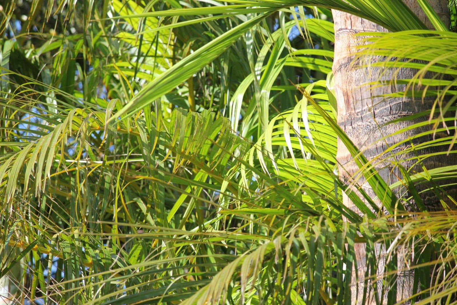 Butterfly Palm Madagascar Palm Areca Palm Chrysalidocarpus How To Grow And Care For The Areca Palm Sproutabl