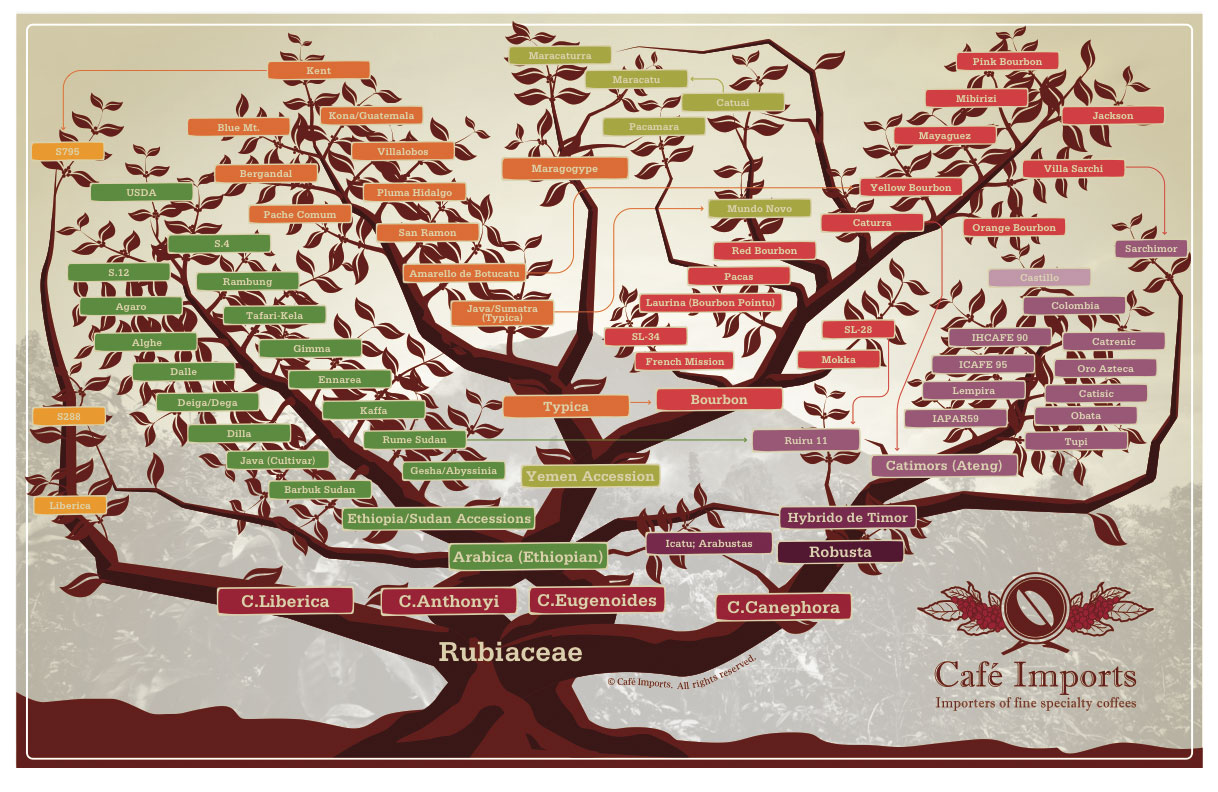 Coffee Arabica News Cafe Imports Coffee Variety Tree In Korean And Mandarin
