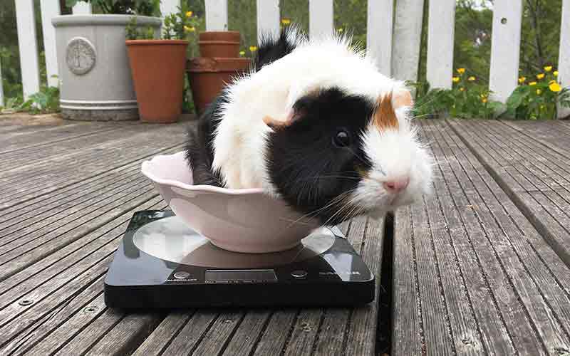 How Much Should A Guinea Pig Weigh - Complete Guide