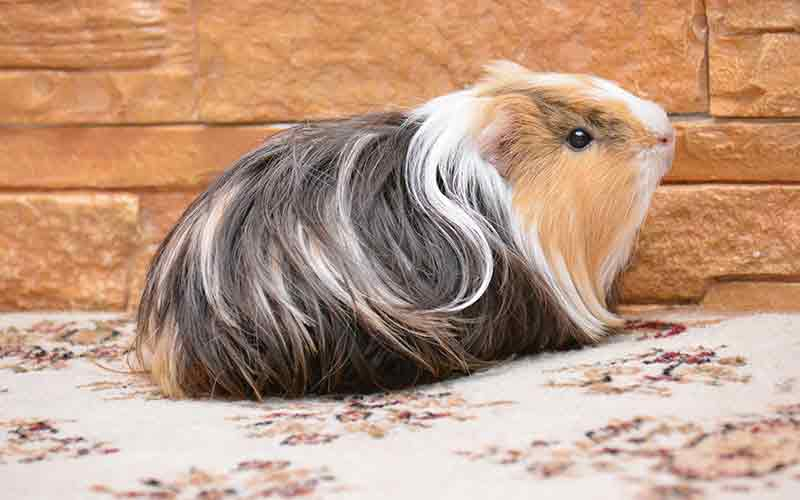 Guinea Pig Cage Size Guide - The Best Homes For Guinea Pigs