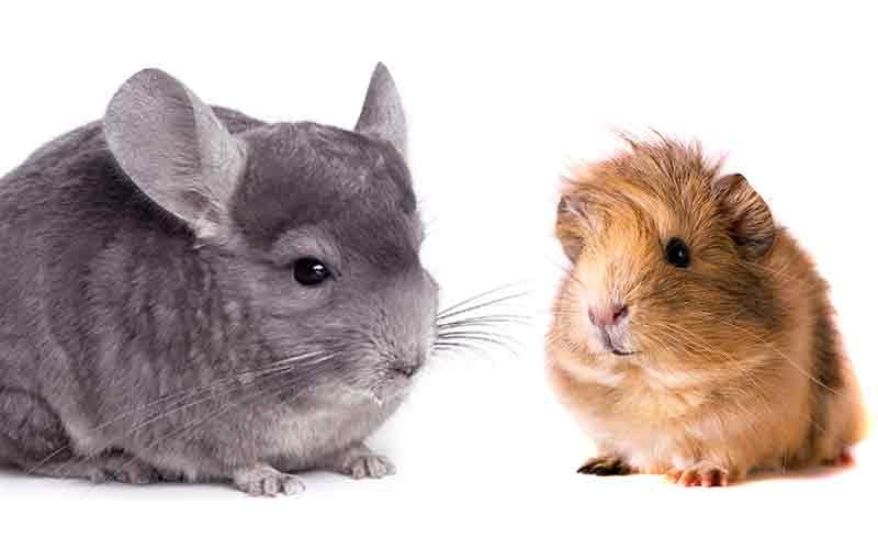 Chinchilla vs Guinea Pig \u2013 Which Is The Best Pet For You?