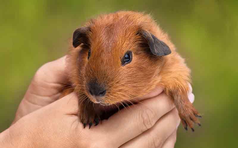 How Big Do Guinea Pigs Get? A Guinea Pig Size Guide by Squeaks and