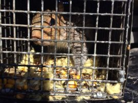 Squirrel Trapping in Johns Creek - St. Ives Country Club