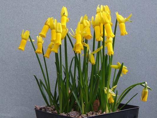 Narcissus Cyclamineus Scottish Rock Garden Club - >bulb Log