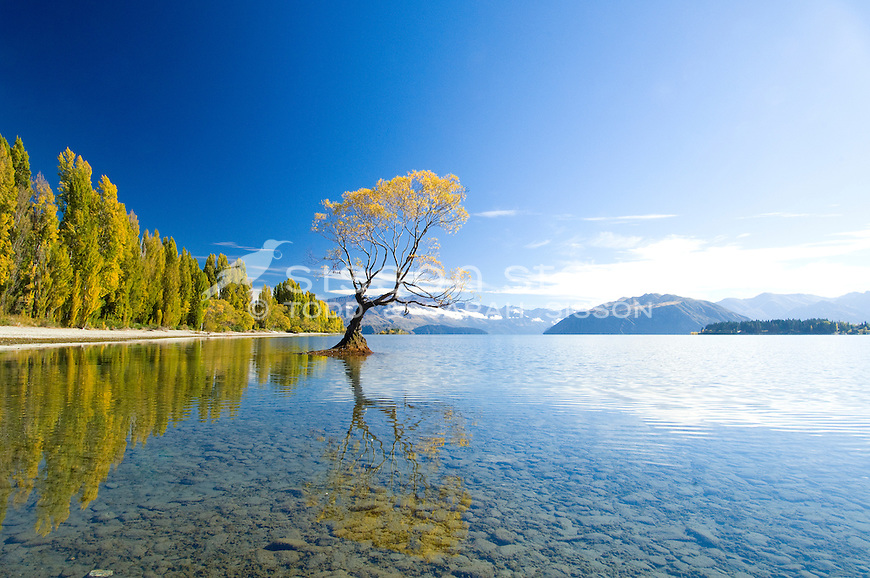 Fall Leaves Hd Wallpaper New Zealand Photos Lake Wanaka Willow Tree Autumn