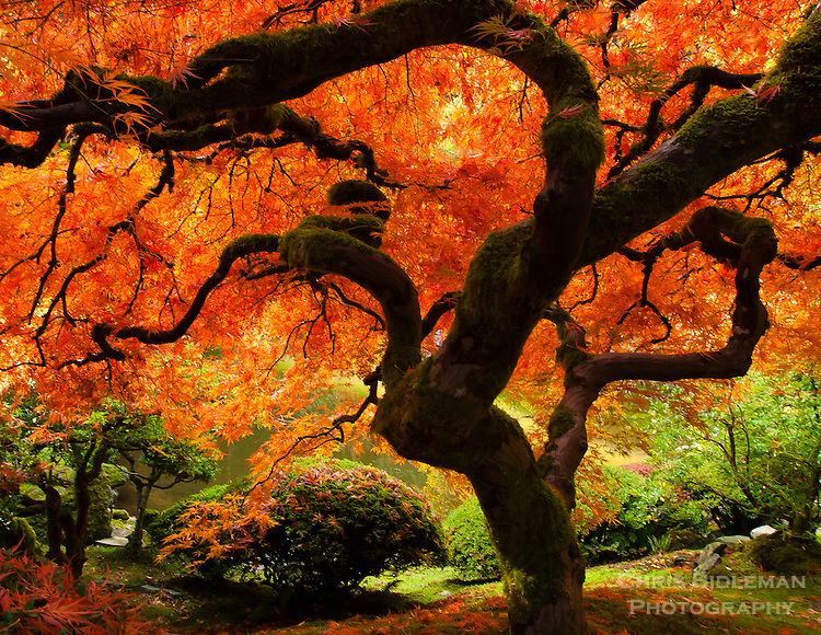 Japan Fall Colors Wallpaper That Tree In Fall In The Portland Japanese Garden Chris