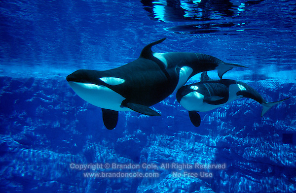 Cute Orca Wallpaper Mother And Calf Orcas At Marine Park Marine Photography