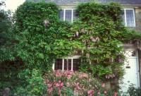 Wisteria & cistus flowering in spring house | Plant ...