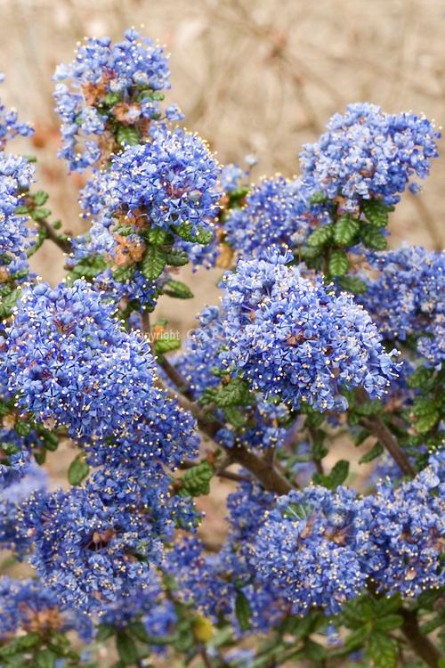 Blue Flowers amp; Plants Stock Photos - Images Plant  Flower