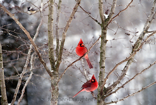 Fall Bird Feeder Wallpaper Two Cardinals In Winter Tree Mother Daughter Press