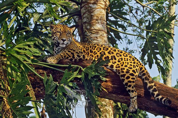 Amazon Rainforest Animals Wallpaper Big Cat Jaguar Panthera Onca Tom Amp Pat Leeson