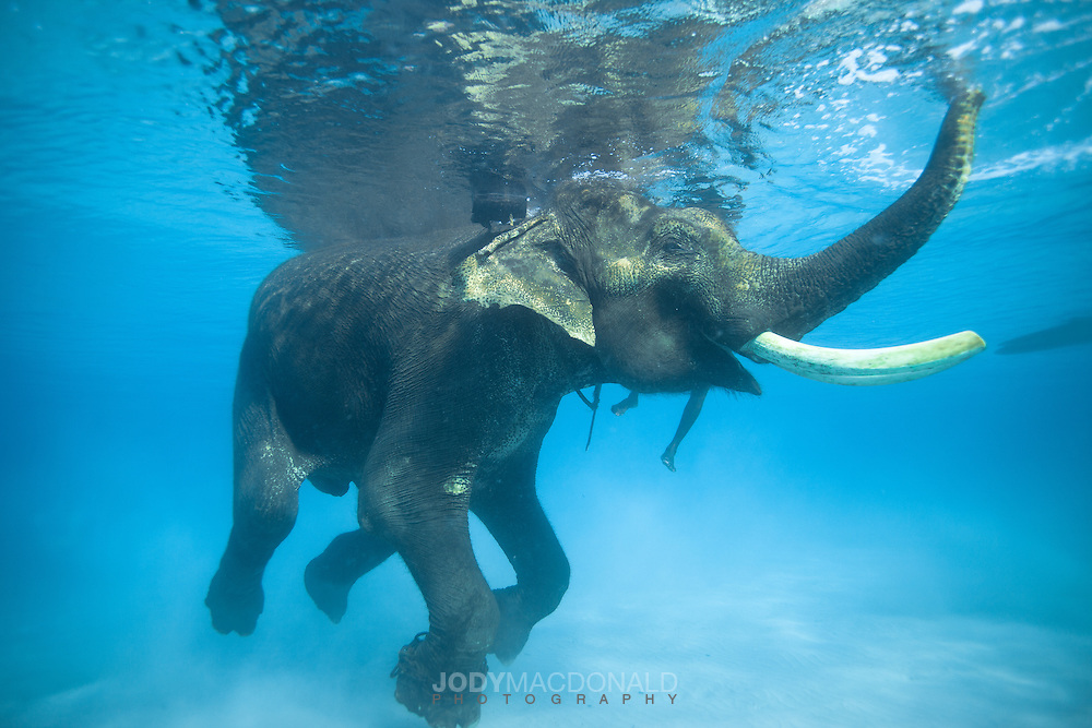 Cute Elephant Cartoon Wallpapers Rajan The Elephant Swimming In The Andaman Islands Jody