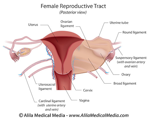 Female reproductive system Alila Medical Images