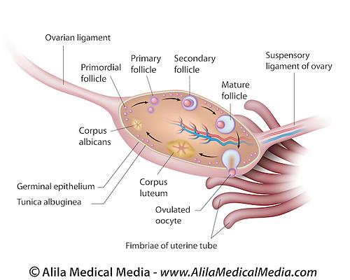 Anatomy of human ovary Alila Medical Images