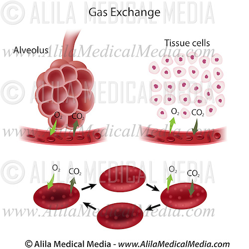 Gas exchange process Alila Medical Images
