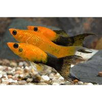 discus fish for sale glasgow - Tropical Fish For Sale (Glasgow, Scotland) at Aquarist Classifieds