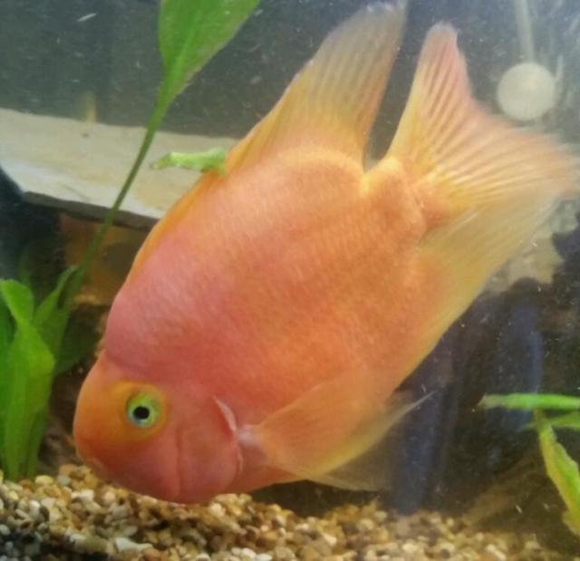 Blood Parrot Fish | United Kingdom | Gumtree