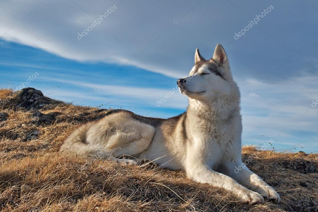Husky Dog Hd Wallpapers A Husky Dog Lying In The Mountains Scenery Stock Photo