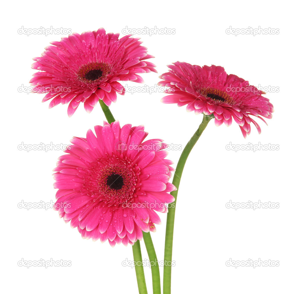 Gerbera Blume Beautiful Pink Gerbera Flowers Isolated On White Stock Photo