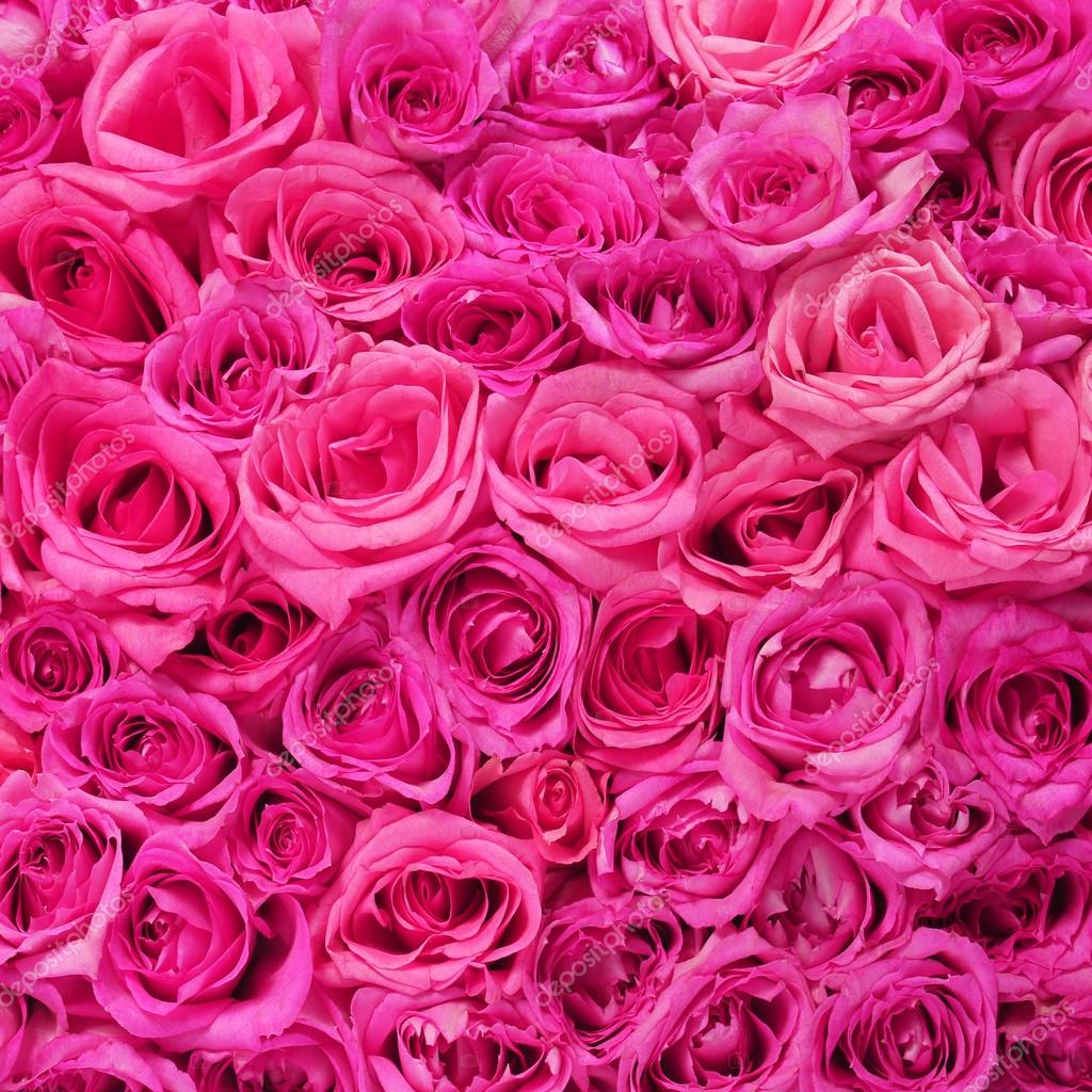 Fall Live Wallpaper Iphone Hot Pink Roses Background Stock Photo 169 Guzel 41595055